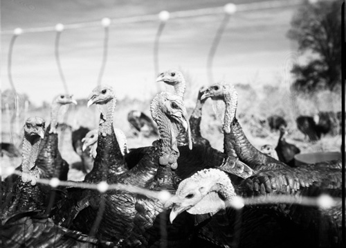 Pollo Real Heritage Turkeys in New Mexico